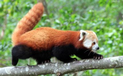 Weekend en famille à la rencontre du panda roux